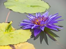 Free Purple-blue Water Lily Stock Photography - 25025802