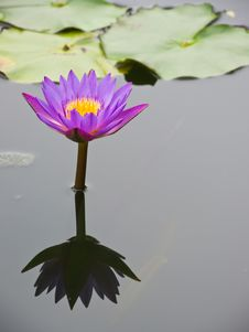 Free Purple-red Water Lily Royalty Free Stock Photo - 25029505