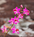 Free Beautiful Pink Orchid Flower Stock Photography - 25035162