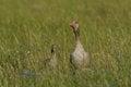 Free Greylag Goose Stock Photo - 25035770