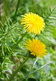 Free Yellow Dandelions Stock Images - 25031484