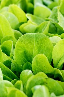 Free Salad Garden Stock Photography - 25033112