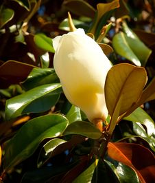 Free Beautiful Florida Magnolia Flower Stock Images - 25033344