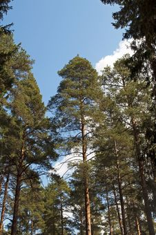 Free Pine Trunks On Blue Sky Background Stock Images - 25034264