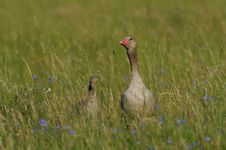 Free Greylag Goose Stock Photo - 25035770