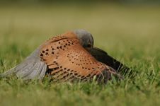 Free Common Kestrel &x28;Falco Tinnunculus&x29; Stock Image - 25035891
