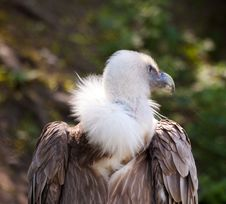 Free Black Vulture In City Zoo Royalty Free Stock Images - 25036479