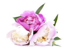 Free Peony  Bouquet Royalty Free Stock Photos - 25037548