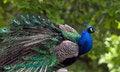 Free Peacock Stock Image - 25040301