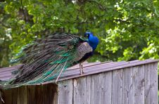 Free Peacock Royalty Free Stock Images - 25040289
