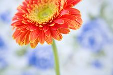 Free Red Gerbera Stock Photo - 25043260