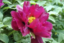 Treelike Scarlet Peony Royalty Free Stock Photography
