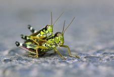 Free Locust Love Royalty Free Stock Photo - 25048375