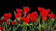 Free Beautiful Red Tulips Against Dark Backgroung Stock Photo - 25050490