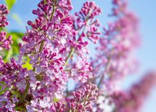 Free Spring Lilac Flowers Stock Image - 25050501
