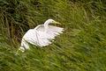 Free White Egret Royalty Free Stock Images - 25062799