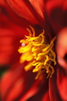 Free Red Dahlia Macro Stock Image - 25061381