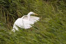Free White Egret Royalty Free Stock Images - 25062799