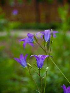 Free Bluebell Stock Photo - 25063800