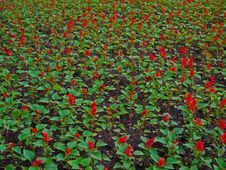 Salvia Splendens Royalty Free Stock Image