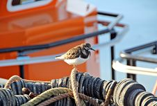 Free Turnstone Bird In Fishing Harbour Stock Photo - 25064410