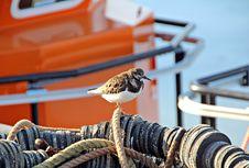 Free Turnstone Bird In Fishing Harbour Stock Photo - 25064410