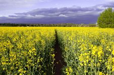 Free Canola Field, Summer Royalty Free Stock Images - 25067639