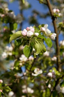 Free Blooming Apple Tree Royalty Free Stock Images - 25067719