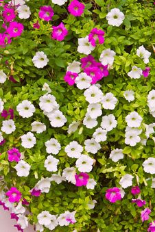 Free Pink And White Petunia Flower Stock Photography - 25068252