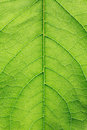 Free Green Leaf Closeup Royalty Free Stock Image - 25074626