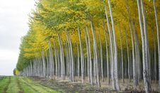 On The Edge Stand Aspen Trees Changing Color Royalty Free Stock Image