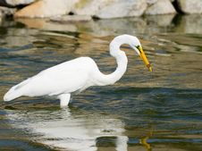 Free Great White Egret With Fish Royalty Free Stock Image - 25077636