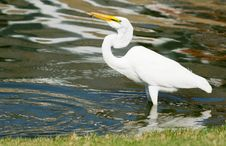 Free Great White Egret With Fish Stock Photography - 25077642