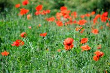 Free Poppies Royalty Free Stock Photography - 25089627