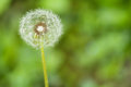 Free Dandelion Flower On A Green Background Stock Photos - 25091653