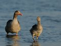 Free Baby Goose With Mother Goose Royalty Free Stock Photos - 25095238
