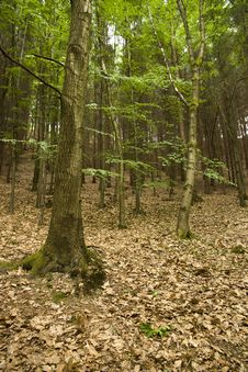 Free Beech Forest Stock Image - 25091561