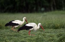 Free White Storks Royalty Free Stock Image - 25091576