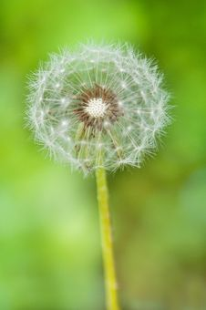 Free Dandelion Flower On A Green Background Royalty Free Stock Images - 25091679