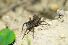 Free Tarantula Eating Stock Photo - 25092700