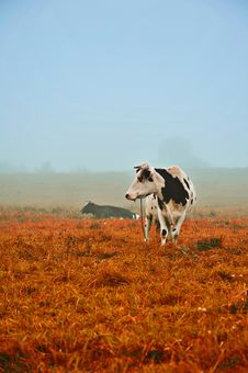 Free Cows In The Fog Royalty Free Stock Image - 25095236