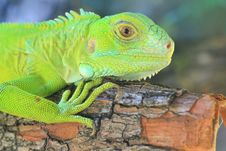 Green Iguana&x28;Iguana Iguana&x29; Stock Photography