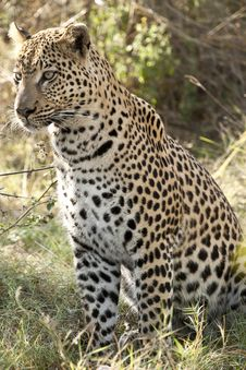 Free Seated Leopard Stock Photography - 25099332