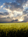Free Barley Field During Stormy Day Royalty Free Stock Photos - 2512468