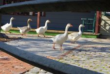 Free Five Geese Walking Royalty Free Stock Photo - 2510535