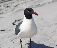 Free Laughing Gull Royalty Free Stock Image - 2510586
