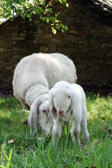 Free Baby Sheep Stock Photos - 2513123