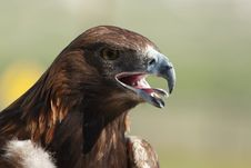 Free Golden Eagle Head Stock Photo - 2513130