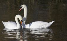 Free Courting Swans Stock Image - 2514281