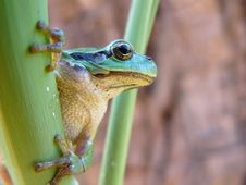 Free Tree Frog Stock Images - 2514494